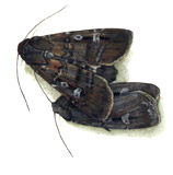 Bogong Moth