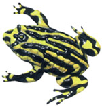 Corroboree Frog