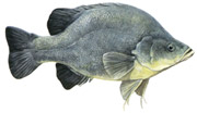 Golden Perch