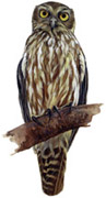 Barking Owl