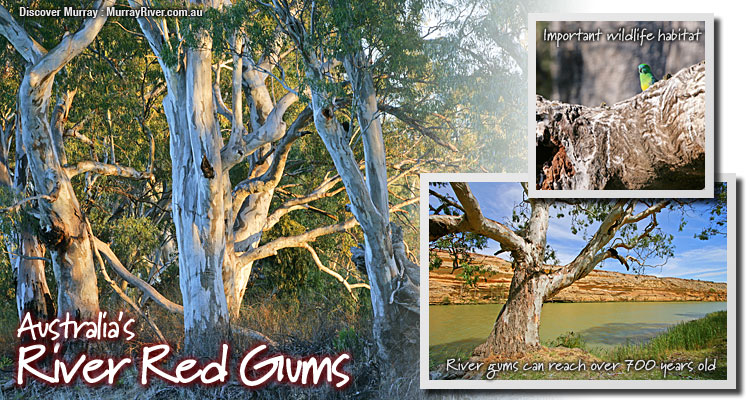 The Eucalyptus: A Natural and Commercial History of the Gum Tree (Center Books in Natural History)