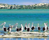 Pelicans on the Coorong.