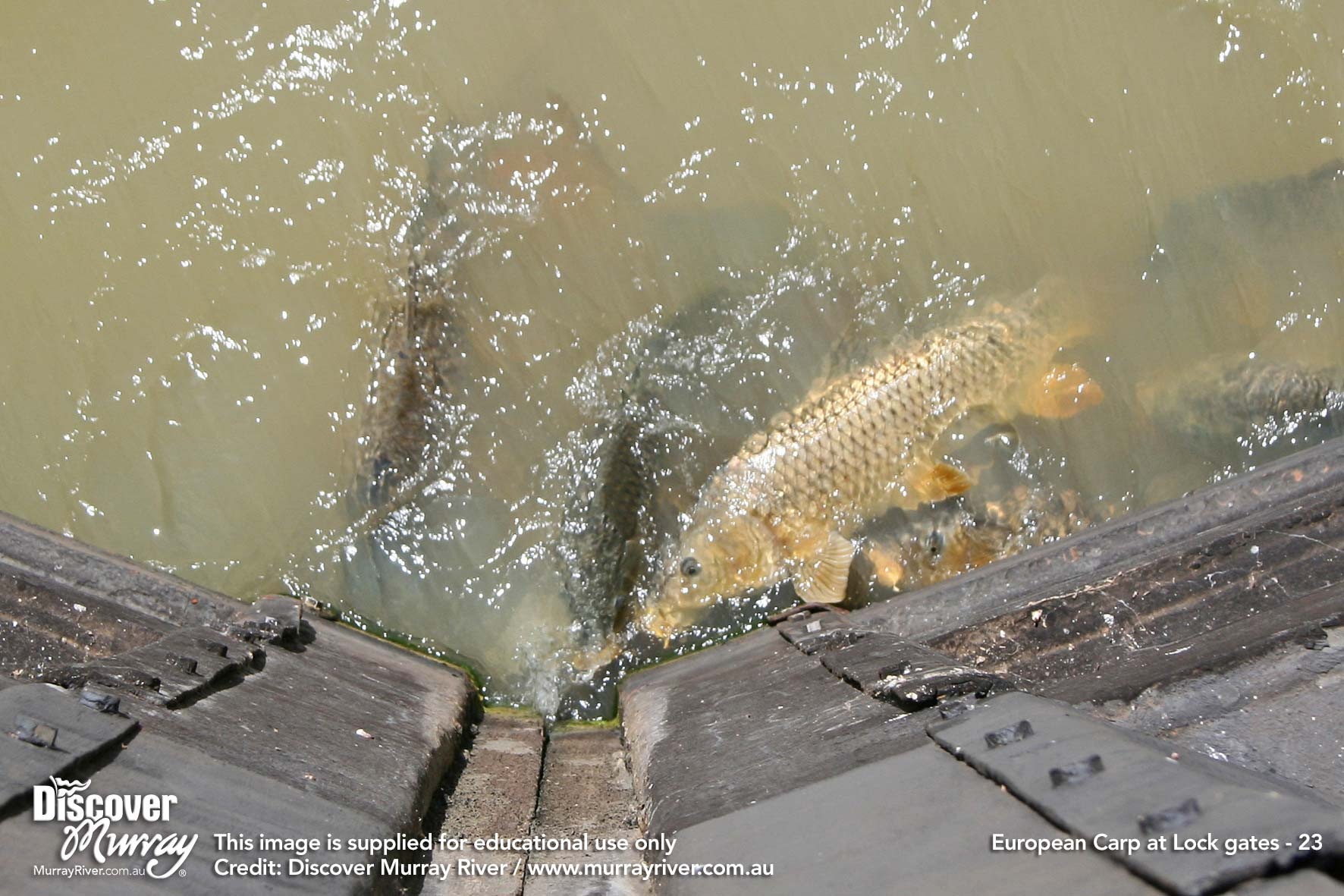 how to catch carp in the murray
