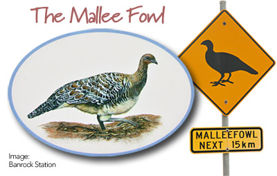 The Mallee Fowl - Endangered
